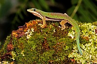 Lined Day Gecko (Phelsuma lineata), captive