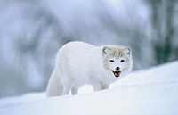 Artic fox (Alopex lagopus). Adult walking across snow. Norway