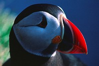 Close-up view of Puffin´s face