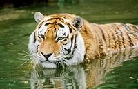 Siberian Tiger (Pantera tigris altaica) in water