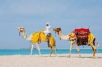 Camels at Jebel Ali. Dubai, UAE (Unired Arab Emirates)