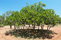 Fig tree. Ibiza, Balearic Islands. Spain