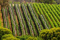 Wine grower Howard Park Wines and 'Leston' vineyard in Margaret River. Western Australia, Australia