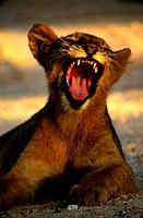 Lion cub, Kruger National Park, Mpumalanga, South Africa
