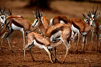 Springbok and fawn, Kgalagadi Transfrontier Park, Northern Cape, South Africa