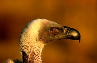 Cape Vulture, South Africa