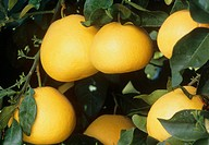 Grapefruits. Grapefruits growing on a branch. Grapefruits, Citrus paradisi, grow on small trees with shiny dark green leaves. These citrus fruits have...