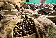 Dried nutmeg in sacks. These seeds are from the nutmeg tree (Myristica fragrans). The seeds are found inside fleshy fruits, which split open when they...