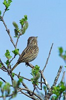 Lincoln's Sparrow sings during spring mating season at Alaganik Slough of the Copper River near Cordova, Alaska