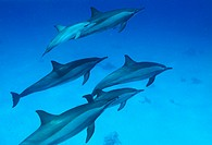 Spinner dolphins (Stenella longirostris) swimming in a school. These social animals are found in tropical and subtropical waters worldwide. They are u...