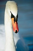 Mute swan (Cygnus olor). Isar, Munchen. Bavaria. Germany.