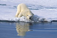Polar Bear (Ursus maritimus) in summer. Spitzbergen, Svalbard, Norway