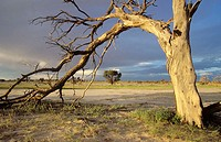 Kalahari Scene, Kgalagadi Transfrontier Park, Dead camelthorn tree and storm sky in Nossob Riverbed. Kalahari, Northern Cape, South Africa