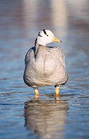 Bar-headed goose (Anser indicus). Isar, Munchen. Bavaria. Germany.