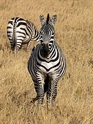 Zebras (Equus sp.). Serengeti National Park, Tanzania
