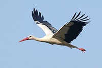 White Stork (Ciconia ciconia) in flight. Spain