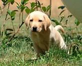 labrador retriver, puppy