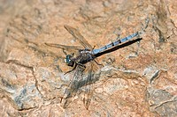 Blue Dragonfly (Orthetrum brunneum). La Gomera, Canary Islands. Spain