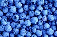 Lowbush blueberry (Vaccinium angustifolium). Walden. Ontario. Canada