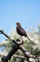 Blackbird (Turdus merula). Sweden