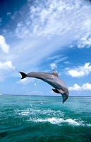 Bottlenose Dolphin. Caribbean Sea.