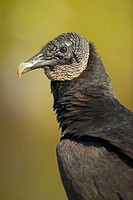 Black Vulture (Coragyps atratus). Everglades Natinal Park. Florida. USA