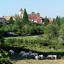 White cows grazing. Buvilly, Jura. France