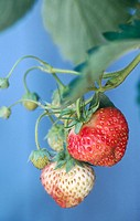 Strawberry (Fragaria sp.). Ajax, Ontario. Canada