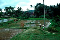 Padi field, Ubud, Bali, Indonesia