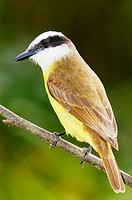 Great Kiskadee (Pitangus sulphuratus). Corrientes. Argentina