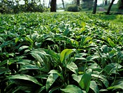 Field of ramsons (wild garlic)