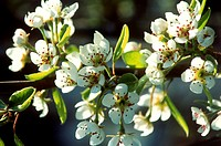 Pear blossom on a branch on the tree (1)