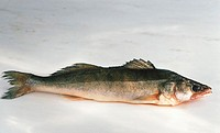 Fresh pike-perch