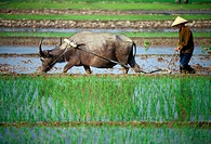 Vietnam, woman ploughing field