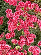 Carnations (Dianthus hybr.)