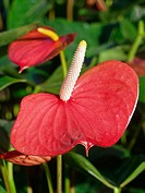 Anthurium (Anthurium sp.)
