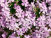 Phlox (Phlox sp.)