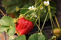 Fruit, Strawberry, agriculture, Brazil (thumbnail)
