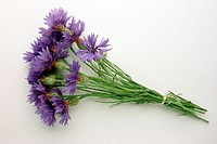 Cornflower (Centaurea cyanus), also known as bachelor´s button. This plant belongs to the aster family, and has been used medicinally. Juices from the...