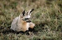 Bat-Eared Fox (Otocyon megalotis). Masai Mara wildlife reservation, Kenya