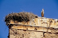 Storck nesting on top of Amridil ksar. South, Ouarzazate region. Morocco.