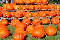 Pumpkins for sale at barn. Concord, Massachusetts. USA.