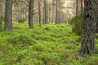 Scots Pine (Pinus Sylvestris) plantation, with Blaeberry (Vaccinium myrtillus) groundcover, in Gleann Einich. Strathspey, Highlands. Scotland