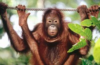 Young Orang-Utan (Pongo pygmaeus) hanging on a rope and looking at camera. Sabah. Borneo, Malaysia