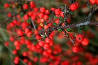 Rote Beeren an der Elbe