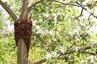 Bienenvolk am Baum