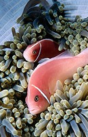 Pink Anemonefish (Amphiprion perideraion). Kimbe Bay, Papua New Guinea