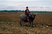 Riding a buffalo at a padi field, Vietnam