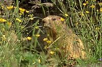 Marmot (Marmorta marmota)