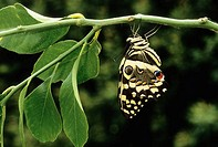 Citrus Swallowtail (Papilio demodocus) on lemon tree (food plant), South Africa